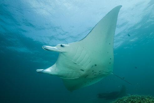 Oceania, Micronesia, Yap, Reef manta ray, Manta alfredi - FG000060