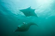 Oceania, Micronesia, Yap, Reef manta rays, Manta alfredi - FGF000062