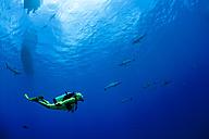 Oceania, Micronesia, Yap, Diver with grey reef sharks, Carcharhinus amblyrhynchos - FGF000096