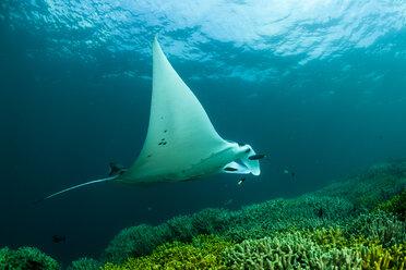 Oceania, Micronesia, Yap, Reef manta ray, Manta alfredi - FGF000073