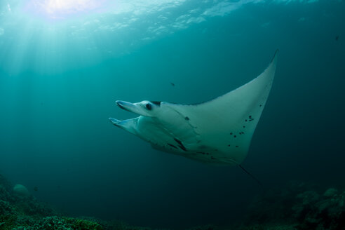 Oceania, Micronesia, Yap, Reef manta ray, Manta alfredi - FG000074