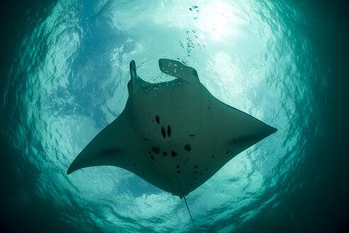 Oceania, Micronesia, Yap, Reef manta ray, Manta alfredi - FG000075
