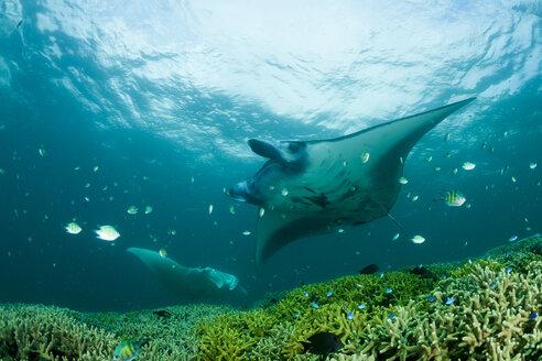 Oceania, Micronesia, Yap, Reef manta ray, Manta alfredi - FGF000081