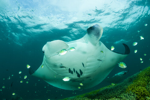 Oceania, Micronesia, Yap, Reef manta ray, Manta alfredi - FGF000083