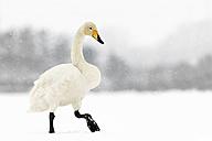 Germany, Schleswig-Holstein, Whooper swan, Cygnus cygnus, walking in the snow - HAC000136