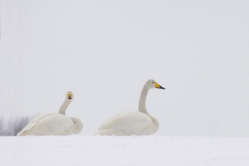 Germany, Schleswig-Holstein, Whooper swans, Cygnus cygnus, sitting on snow - HAC000138