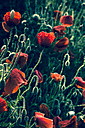 Germany, Bavaria, Poppies, Papaver rhoeas, in the morning light - FCF000243