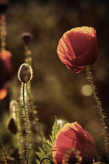 Red poppies, Papaver rhoeas, in sunlight - HOHF000864