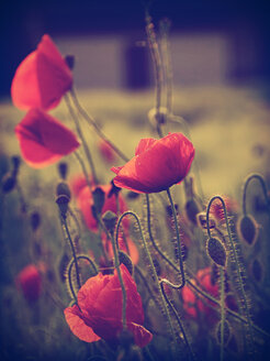 Red poppies, Papaver rhoeas, in sunlight - HOH000866