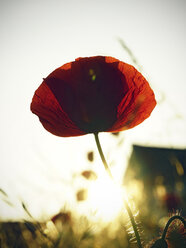 Red poppy, Papaver rhoeas, in sunlight - HOHF000868