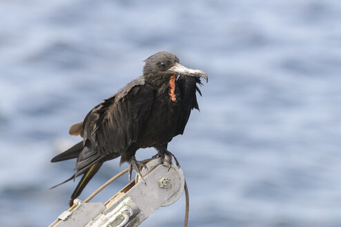 Oceania, Galapagos Islands, magnificent frigatebird, Fregata magnificens, perched in front of water - CB000313
