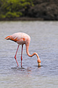 Oceania, Galapagos Islands, Santa Cruz, American Flamingo, Phoenicopterus ruber, on foraging - CB000315