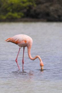 Oceania, Galapagos Islands, Santa Cruz, American Flamingo, Phoenicopterus ruber, on foraging - CB000315