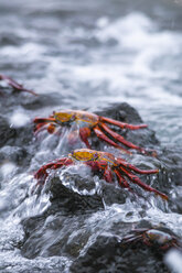 Oceania, Galapagos Islands, Santa Cruz, two red rock crabs, Grapsus grapsus, sitting on a rock in the surf - CB000328