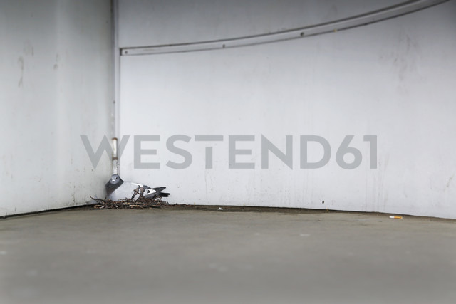 Germany, Berlin, Pigeon on nest, Columba - NGF000125 - Nadine Ginzel/Westend61