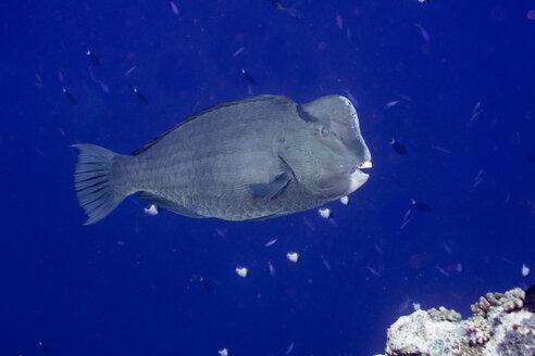 Oceania, Palau, Bolbometopon muricatum, green humphead parrotfish - JWAF000086