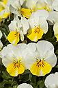 Germany, Horned Violet, Viola cornute - WIF000806
