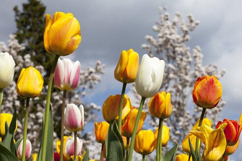 Germany, Multicoloured Tulip flowers, Tulipa - WIF000811