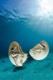 Oceania, Palau, Palau nautilusses, Nautilus belauensis, in Pacific Ocean - FGF000045