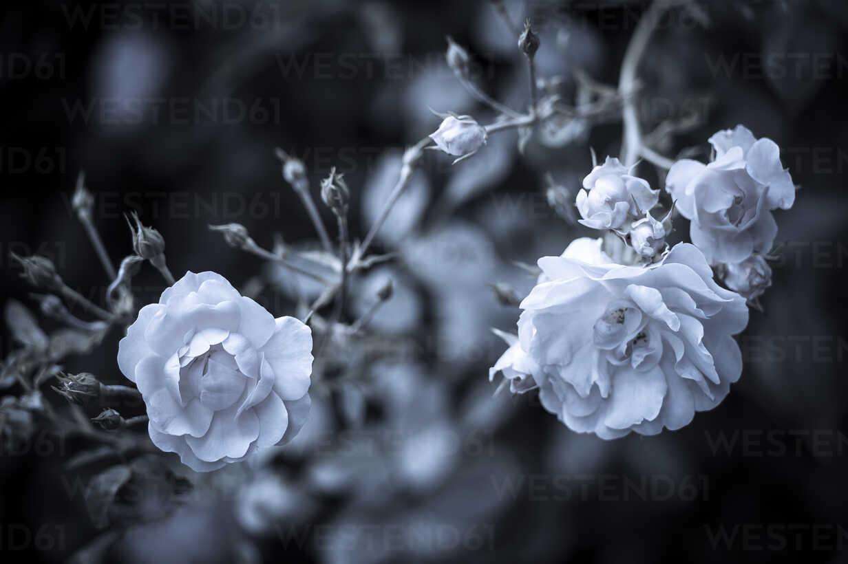 Roses, Rosaceae, elevated view - KJ000303 - Kai Jabs/Westend61