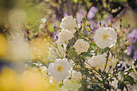 Germany, Saxony, White roses, Rosa - MJF001295