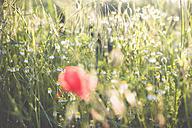 Germany, Saxony, Poppy flower, Papaver rhoeas, Chamomile, Matricaria, Matricaria L., and Oat, Avena sativa - MJF001300
