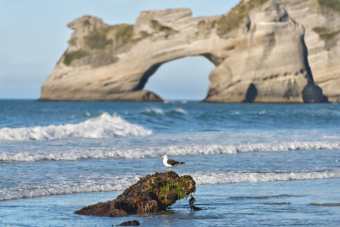 New Zealand, Golden Bay, Wharariki Beach, seagull on a rock with rock arch in the background - SHF001449