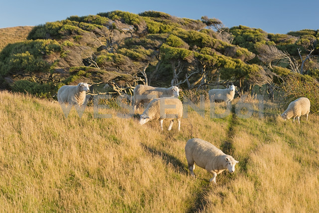 New Zealand, Golden Bay, Wharariki Beach, flock of sheep on a hill - SHF001465 - Holger Spiering/Westend61