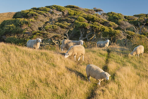 New Zealand, Golden Bay, Wharariki Beach, flock of sheep on a hill - SHF001465