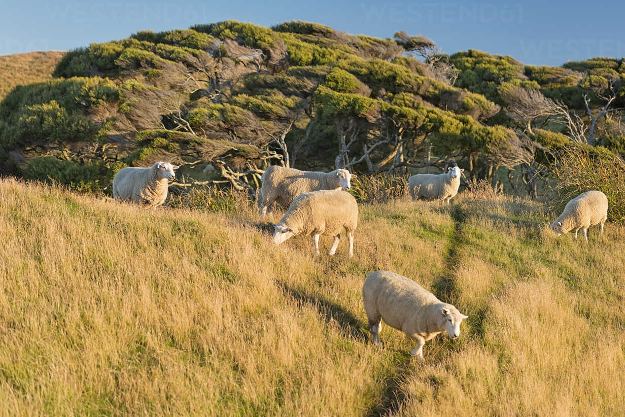 New Zealand, Golden Bay, Wharariki Beach, flock of sheep on a hill - SHF001465 - Holger Spiering/Westend61