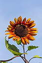 Bicoloured sunflower, Helianthus annuus, in front of blue sky - SRF000590