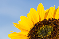 Sunflowers, Helianthus annuus, in front of blue sky, partial view - SRF000596