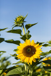 Sunflowers, Helianthus annuus, in front of blue sky - SR000597
