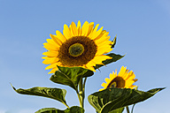 Two sunflowers, Helianthus annuus, in front of blue sky - SRF000599
