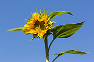 Blossom of sunflower, Helianthus annuus, in front of blue sky - SRF000602