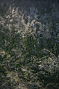 Grass in evening light - JT000553