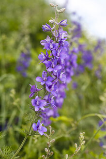 Blossom of meadow sage, Salvia pratensis - ZCF000079