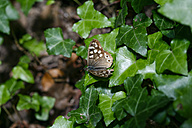Speckled wood, Pararge aegeria, sitting on ivy, Hedera helix - ZCF000082