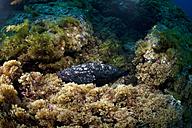 Portugal, Azores, Santa Maria, Atlantic Ocean, Dusky Grouper - ZCF000096