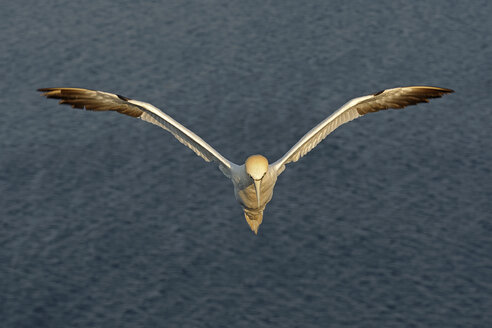 Germany, Helgoland, northern gannet flying - HACF000151