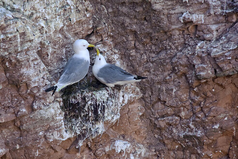 Germany, Helgoland, two black-legged kittiwakes at rock escarpment - HACF000168
