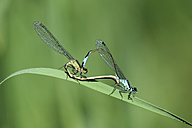 Two blue-tailed damselflies, Ischnura elegans, in front of green background - MJOF000494
