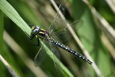 Hairy dragonfly, Brachytron pratense, sitting on blade of grass - MJOF000497