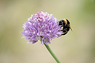 Bumble bee, Bombus, sitting on blossom - MJOF000500