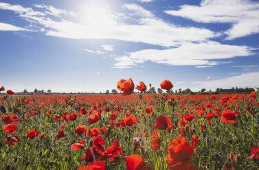 Germany, Cologne Widdersdorf, poppy field at sunlight - GWF003587