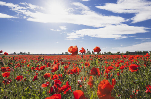 Germany, Cologne Widdersdorf, poppy field at sunlight - GWF003587
