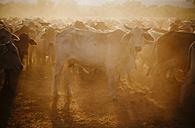 Australia, Western Australia, Australian cattle on a farm - MBEF001055