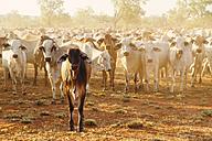 Australia, Western Australia, Australian cattle on a farm - MBEF001057