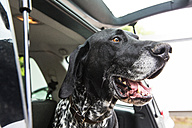 Portrait of German Shorthaired Pointer in opened car boot - JATF000751