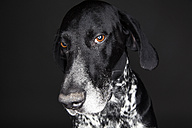 Portrait of German Shorthaired Pointer in front of black background - JAT000732
